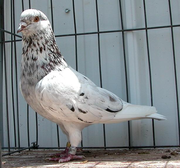 Roller pigeons - photo#20