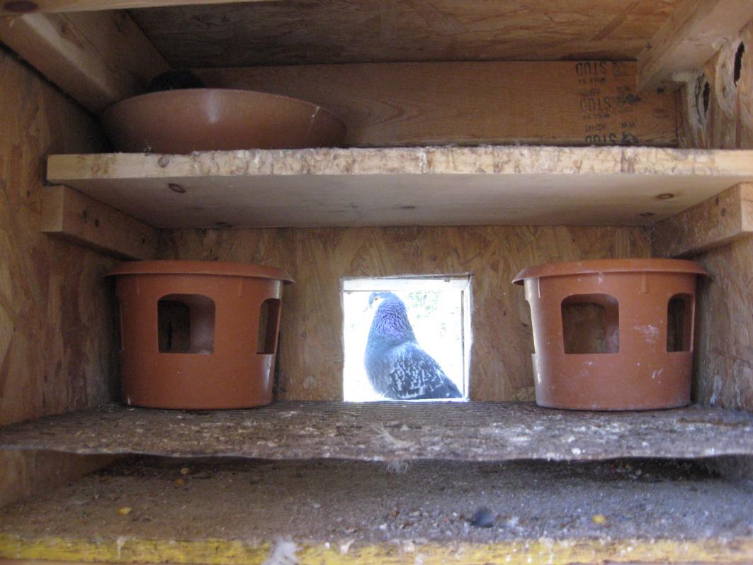 Rick Mee's Pigeons
